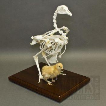 Esqueleto Aviar (Fantoma)